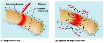Reseptor potensial