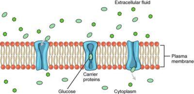 contoh Difusi terfasilitasi molekul glukosa